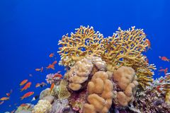 Coral reef with hard corals and exotic fishes at the bottom of tropical sea Royalty Free Stock Photography