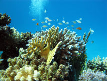 Coral reef with hard corals and exotic fishes at the bottom of tropical sea Stock Image