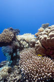 Coral reef with hard corals in tropical sea-underwater Royalty Free Stock Photos