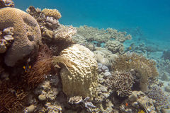 Coral reef with hard corals in tropical sea, underwater Stock Photos