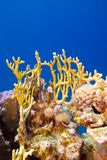Coral reef with hard and fire coral at the bottom of tropical sea Stock Photos