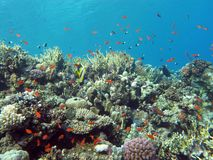 Coral reef with hard and fire coral and exotic fishes at the bottom of tropical sea Stock Photography