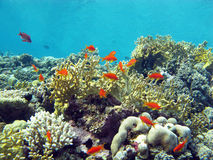 Coral reef with hard and fire coral and exotic fishes, underwater Royalty Free Stock Image