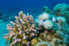 Coral reef with hard and soft corals at the bottom of tropical sea Stock Photography
