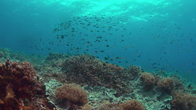 Coral reef with healthy Staghorn corals.  4k stock footage