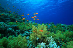 Free Coral Reef In The Red Sea Royalty Free Stock Photography - 13618007