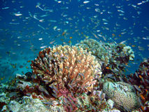 Coral reef Indonesia. Millions of Glass fish above Coral Reef stock photos