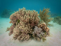 Coral Reef 2, Indonesia Royalty Free Stock Image