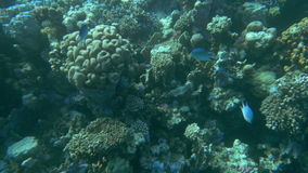 Coral Reef and Its Habitants. Slow motion shot of a coral reef and fishes living nearby stock video footage