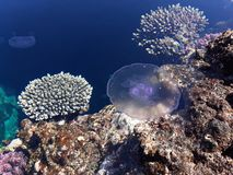 Coral reef and jellyfish. Coral reef jellyfish water sea redsea blue turquois egypt sinai screensaver stock photo