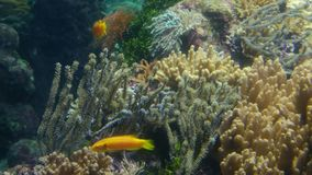 Coral reef 4k background close up tropical fishes view stock footage