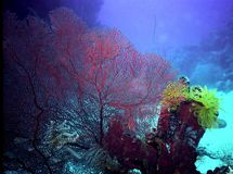 Coral Reef in Kimbe Bay, PNG. Very colorful & vibrant reeflife in Kimbe Bay, Papua New Guinea Royalty Free Stock Photo