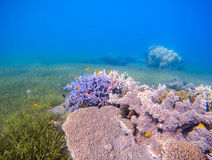 Coral reef landscape with sea grass. Young coral formation in shallow sea. Turquoise sea and tropical seabottom photo. Sea animals and plants. Exotic seashore royalty free stock image