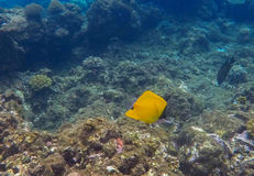 Coral reef landscape with yellow butterflyfish. Blue sea water with sunlight rays. Snorkeling photo of sea bottom with corals and sea plants. Oceanic life Stock Photography