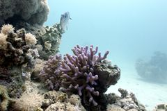 Coral reef with lilac hood coral and exotic fish on the bottom of tropical sea. Coral reef with lilac hood coral and exotic fish on the bottom of red sea in Royalty Free Stock Image