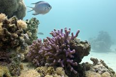 Coral reef with lilac hood coral and exotic fish o Stock Images