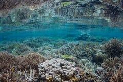 Coral Reef lindo e frágil em Indonésia Imagens de Stock Royalty Free