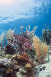Coral reef lionfish Stock Photography