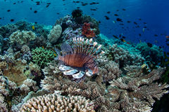 Coral Reef and Lionfish. A Lionfish swims over a coral reef searching for prey in Wakatobi National Park, Indonesia. This remote, tropical region south of Stock Photography