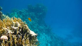 Coral Reef Lone Fish. Image of a coral reef with a lone fish swimming in the deep blue Stock Photos