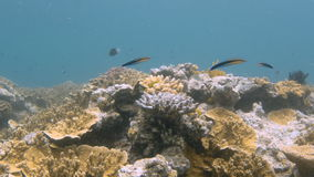 Coral reef and long fish. A medium shot of coral reef and long fishes stock video footage