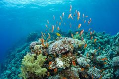 Coral reef with lyretail anthias. The saddle of the Blue Hole with lyretail anthias stock photography