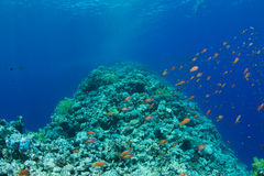 Coral reef with lyretail anthias Royalty Free Stock Photo