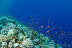 Coral reef with lyretail anthias Stock Photo