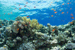 Coral reef with lyretail anthias. The saddle of the Blue Hole with lyretail anthias decompressing royalty free stock images