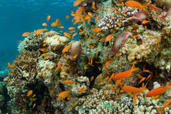 Coral reef with lyretail anthias stock photography