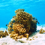 Coral reef at Maldives. Giant clam (Tridacna gigs) at the tropical coral reef Royalty Free Stock Image