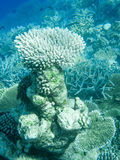 Coral reef in Maldives, Indian Ocean Royalty Free Stock Images