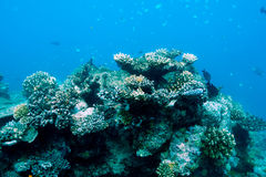 Coral reef at Maldives Royalty Free Stock Photos
