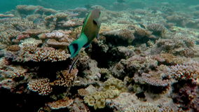 Coral reef marine life in the coral sea at the Great Barrier Reef stock video footage