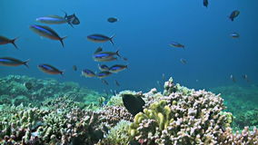 Coral reef with a Moray eel and plenty fish. School of Fusiliers, Snapper, Triggerfishes and more stock video
