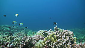 Coral reef with a Moray eel and plenty fish. School of Fusiliers, Snapper, Triggerfishes and more stock footage