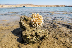 Coral Reef in the nature reserve of Ras Mohammed on the Red Sea Royalty Free Stock Photo