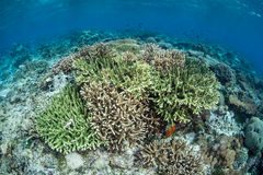 Coral Reef Near Alor, Indonesia Stock Photography