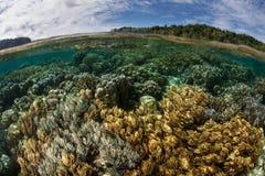 Coral Reef Near Ambon, Indonesia. A beautiful coral reef grows near Ambon, Indonesia. This remote region harbors extraordinary marine biodiversity royalty free stock photo
