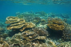 Coral reef New Caledonia underwater Pacific ocean. Coral reef of New Caledonia underwater in the lagoon of Grande-Terre island, south Pacific ocean, Oceania stock images