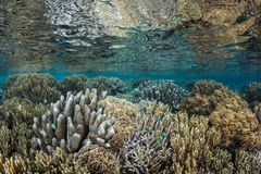 Coral Reef no raso Imagem de Stock Royalty Free