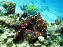 Coral reef with octopus at the bottom of tropical  sea Stock Photos