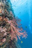 Coral reef off coast of Bali Royalty Free Stock Photography