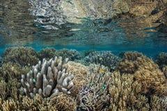 Coral Reef in Ondiepte Royalty-vrije Stock Afbeelding