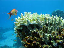 Coral reef and orange fish Stock Image