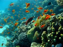 Coral reef with orange fishes Royalty Free Stock Photography