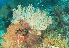 Coral reef. With pale staghorn coral (Acropora palifera) and other types of corals (Raja Ampat, Papua Barat, Indonesia Stock Photo
