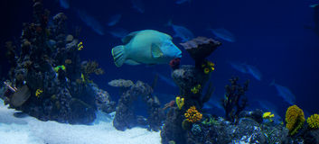 Coral reef pano Royalty Free Stock Image