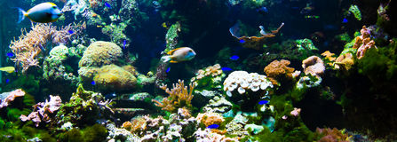 Coral reef panorama. Vibrant underwater aquatic life showing colorful fishes swimming between corals and anemone Stock Image