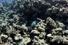 Coral reef and parrot fish at the Red Sea Stock Images